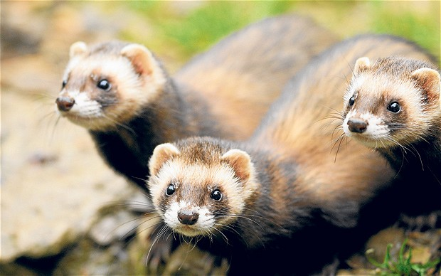 Polecats Animals And English