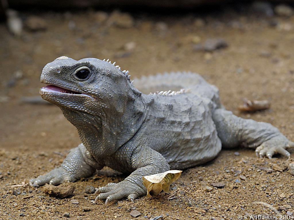 Z Man Lizard Lizards - ANIMA...