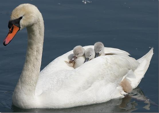 Swans Carrying Chicks
