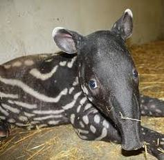 Tapirs - ANIMALS AND ENGLISH